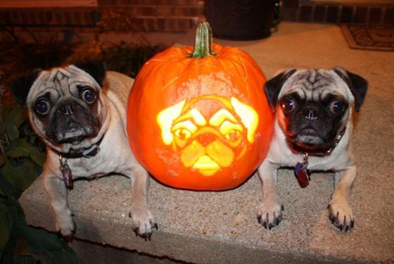 halloween pugs